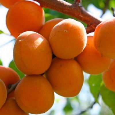 """Саженец абрикоса """"Цар Бибер"""""""