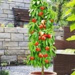 """Саженец персика колоновидный """"Тотем садовода"""""""