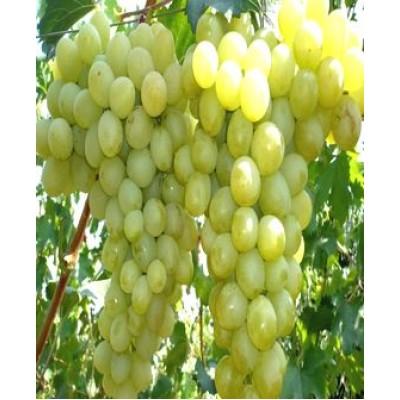 """Саженец винограда """"Антоний Великий"""""""